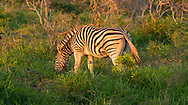 A zebra grazing in the grass of the African bush