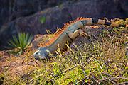 Iguana, Costalegre, Jalisco, Mexico