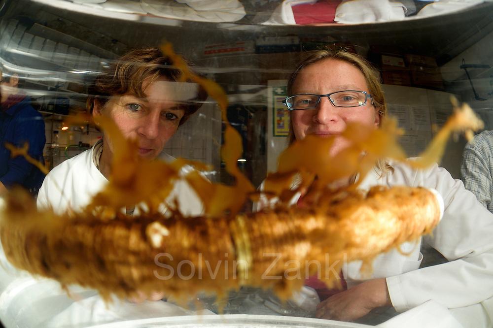Sea-farmers are growing the brown algae (Saccharina latissima) on ropes. Later the algae on the rope (Company: Oceanwell, oceanBASIS GmbH, 24159 Kiel, Germany) | Geschäftsführerin ist von OCEANWELL Dr. Inez Linke (links) begutachtet die neue Algenzucht. In der Kieler Algenfarm läßt man den Zuckertang (Saccharina latissima) auf einem Seil im Labor ansiedeln. Sitzen die Algen fest werden die Seile in der Kieler Förde ausgebracht. Nach einem Jahr, wenn die Algen groß genug sind werden sie geerntet und für extraktionen vorbereitet.