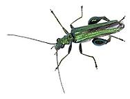 Swollen-thighed Beetle - Oedemera nobilis
