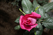 Ecuador, May 26 2010: View of one of the roses at Melrose. Melrose supply roses primarily to Russia. .Copyright 2010 Peter Horrell
