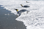 Three King Penguins (Aptenodytes patagonicus) coming ashore, Salisbury Plain, South Georgia Island, South Atlantic Ocean