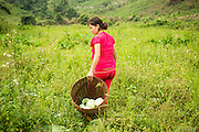 10 MARCH 2013 - ALONG HIGHWAY 13, LAOS:  A woman harvests cabbages in a field along Highway 13 in rural Laos. The paving of Highway 13 from Vientiane to near the Chinese border has changed the way of life in rural Laos. Villagers near Luang Prabang used to have to take unreliable boats that took three hours round trip to get from the homes to the tourist center of Luang Prabang, now they take a 40 minute round trip bus ride. North of Luang Prabang, paving the highway has been an opportunity for China to use Laos as a transshipping point. Chinese merchandise now goes through Laos to Thailand where it's put on Thai trains and taken to the deep water port east of Bangkok. The Chinese have also expanded their economic empire into Laos. Chinese hotels and businesses are common in northern Laos and in some cities, like Oudomxay, are now up to 40% percent. As the roads are paved, more people move away from their traditional homes in the mountains of Laos and crowd the side of the road living off tourists' and truck drivers.    PHOTO BY JACK KURTZ