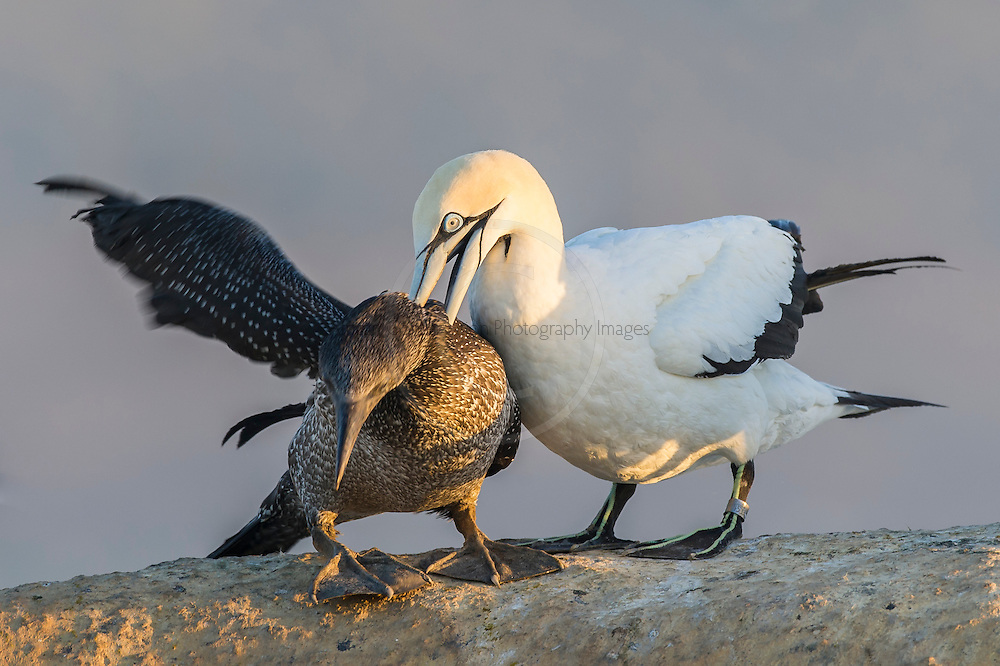 Adult Cape Gannet attacking a recently fledged juvenile and forcing it into submission, Malgas Island, West Coast National Park, Western Cape, South Africa