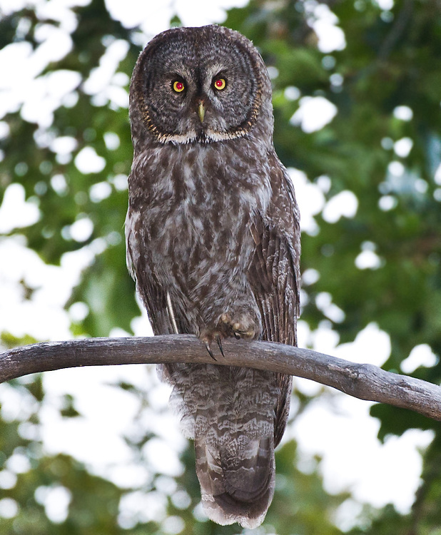 A female Great Gray Owl sits on a tree branch in the hills of Mount Aukum. Her young are close by in the surrounding trees. The Great Gray Owl is one of the most majestic and rare birds in North America. Until recently, it's been found in California almost exclusively around Yosemite, in mountain meadows. Now that's changed -- three pairs are nesting, in of all places, outside Placerville, startling scientists and bird watchers. What's more, they are nesting not in untrammeled wilderness but on a logging company's land.  Mount Aukum is a small foothills town south of Placerville, and north of Jackson is were the bird were found. July 7, 2011.