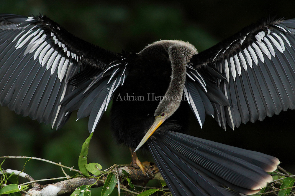 Anhinga (Anhinga anhinga) drying its wings next to natural canal, Tortuguero National Park, Costa Rica. <br />