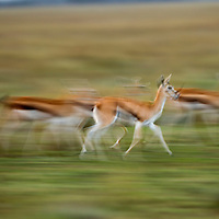 Tanzania, Ngorongoro Conservation Area, Ndutu Plains, Blurred image of herd of Thomson's Gazelle (Gazella thomsonii) walking across open savanna at dusk