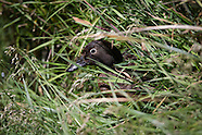 Anas aucklandica (Auckland Island teal)