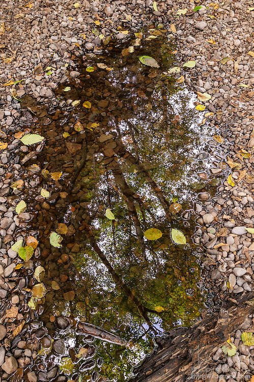 A tree is reflected in a small pool of standing water in the Ecola Creek watershed near Cannon Beach, Oregon.