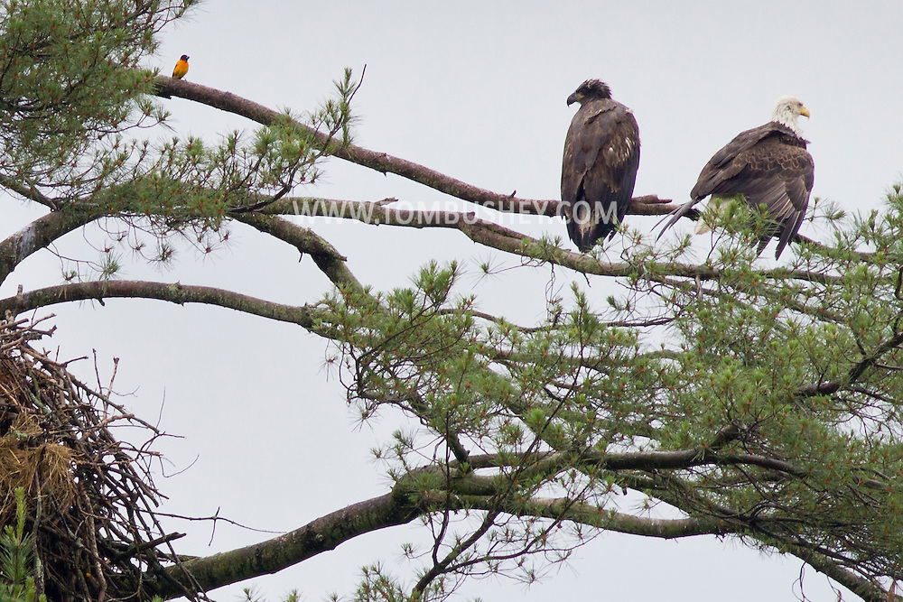 Grahamsville, New York - Bald eagles and a Baltimore Oriole, at left, perch on a branch above their nest in a tree by the Rondout Reservoir on June 18, 2013.