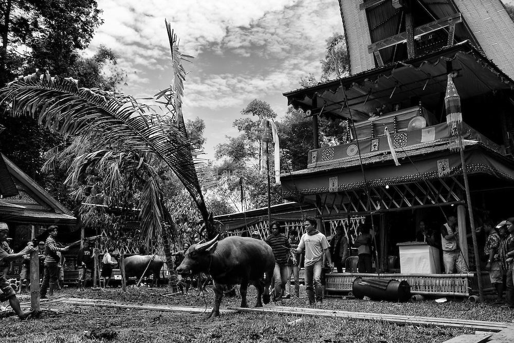 Tagari, 16 mars 2012. Le cercueil de Ruth est placé sur le balconnet de la maison traditionnelle. Depuis là, elle observe les sacrifices des buffles qui vont bientôt commencer.