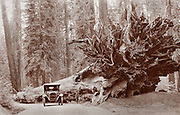 Man and auto with huge fallen Redwood tree next to the road, circa 1910.