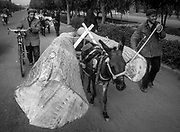 Donkey cart hauls huge poplar logs, Kashgar, Far western China, Central Asia