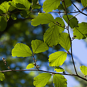 Backlit leaves on an American Beech tree in Massachusetts