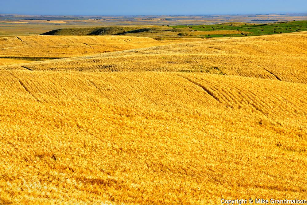 2 Row barley field<br /> <br /> Saskatchewan<br /> Canada