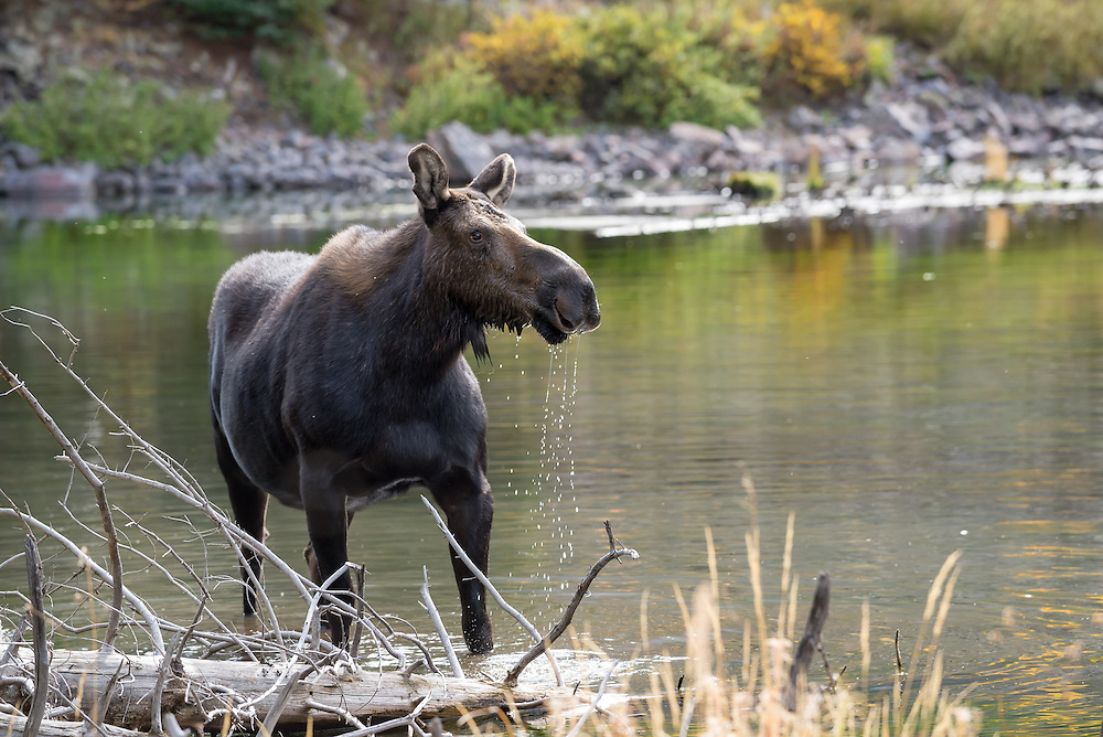 Moose at a beaver pond in Colorado's Weminuche Wilderness.