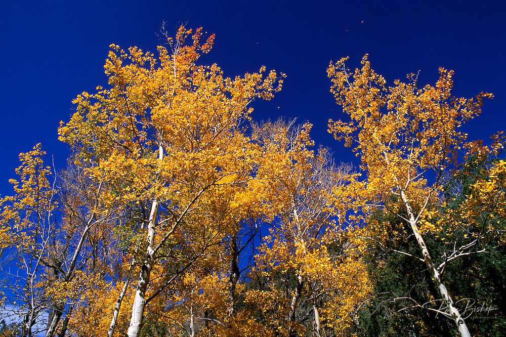 Fall aspens and blue sky along the Mosca Pass Trail, Great Sand Dunes National Park, Colorado