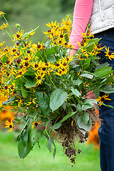 Digging up and moving a perennial - rudbeckia.