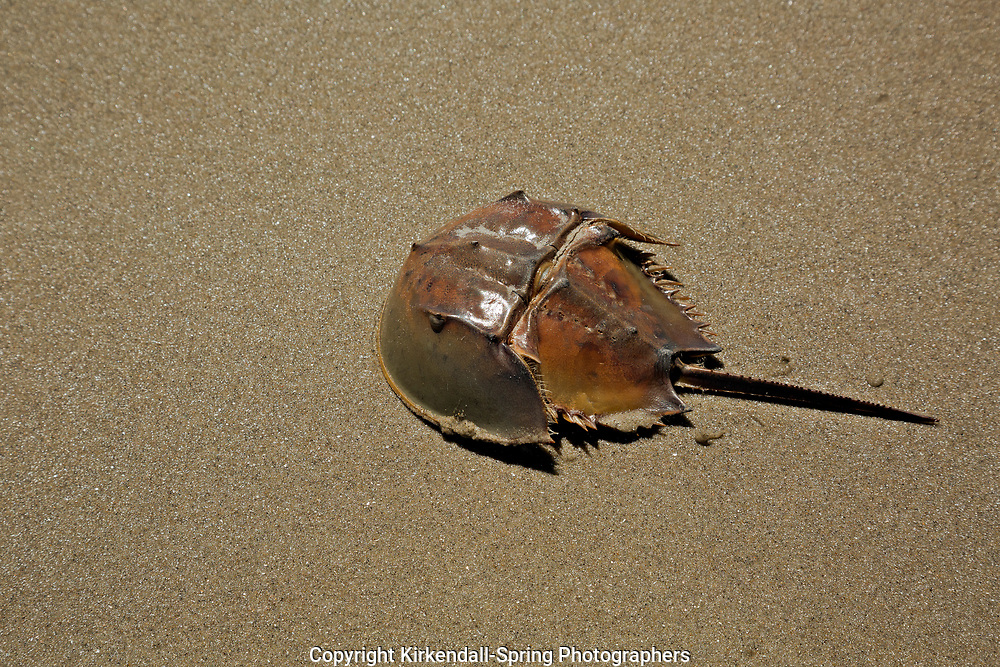 NC01411-00...NORTH CAROLINA - The hard carapace of a horseshoe crab found along the sandy beaches of the Outer Banks.