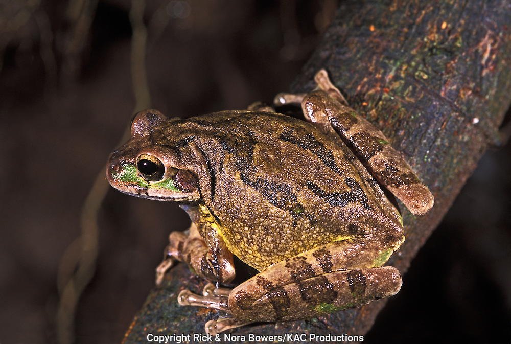 Mexican Treefrog <br /> Smilisca baudinii<br /> Guanacaste Province, Costa Rica<br /> August      Adult       Hylidae