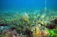 Common eelgrass (Zostera marina). Location : Norway