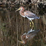 A Tricolored Heron, Egretta tricolor, standing with its reflection in a saltmarsh. Richard DeKorte Park, Lyndhurst, New Jersey, USA