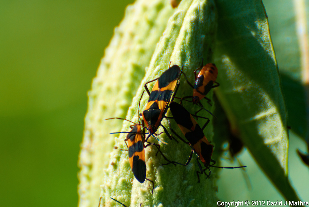 Orange and Black Bugs on a Milkweed Seedpod. Summer Nature in New Jersey. Image taken with a Nikon 1 V1 +  FT1 + 70-30 mm VR lens (ISO 100, 300 mm, f/5.6, 1/400 sec) and monopod. [FOV Equivalent to ~ 810 mm on a 35 mm image sensor]..