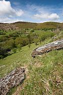 Hanging Sessile Oak Woodland at Gilfach Farm Nature Reserve, Rhayader, Radnorshire, Wales
