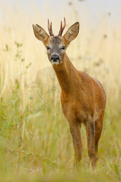 Western Roe Deer (Capreolus capreolus) male in field margin, Norfolk, UK.