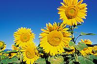 France - Provence - Vaucluse - Fleur de Tournesol
