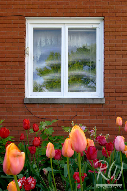 Tulips and Window, Pella Historical Village, Iowa