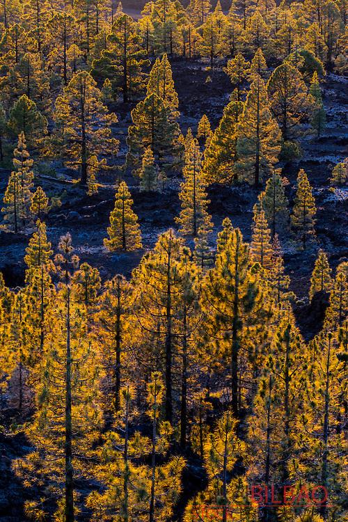Conifer forest. Teide National Park. Tenerife, Canary Islands, Atlantic Ocean, Spain