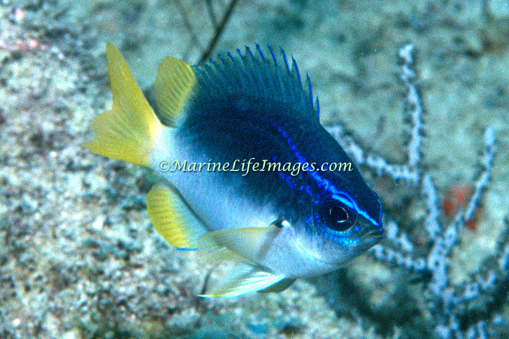 Yellowtail Reeffish inhabit deep reef tops in Tropical West Atlantic; pictue taken Palm Beach,  FL.