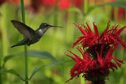 female humming birde feeding on beebaum blossoms