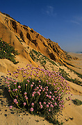 During spring, the sandstone cliffs of Gale Beach are covered by several species of plants, one of which is Armeria