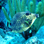 Smooth Trunkfish swim above and around reefs Tropical West Atlantic; picture taken Roatan, Honduras.