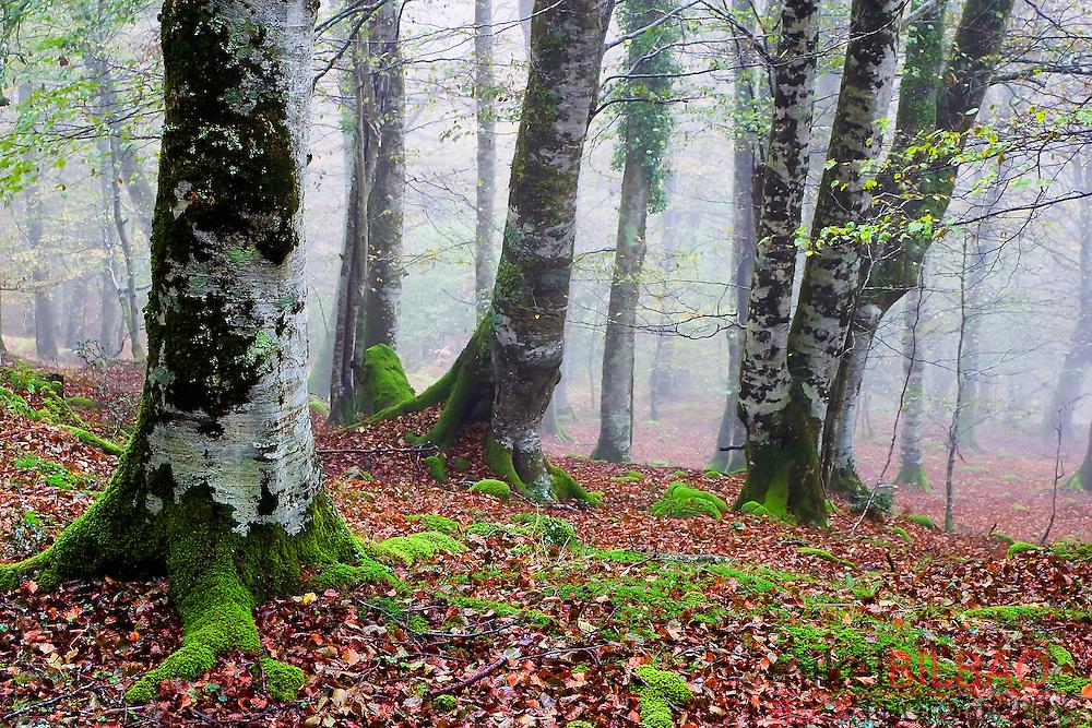 beechwood in autumn. Saja-Besaya Natural Park. Cabuerniga valley. <br /> Cantabria, Spain.