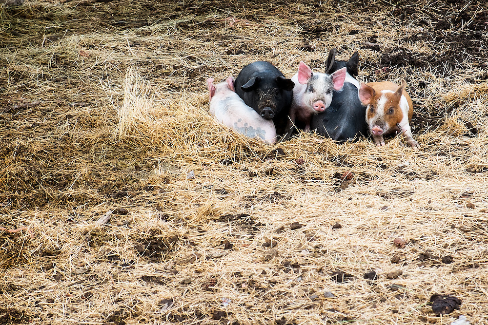 Piglets bed down for the night