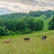 Black Mountain grazing