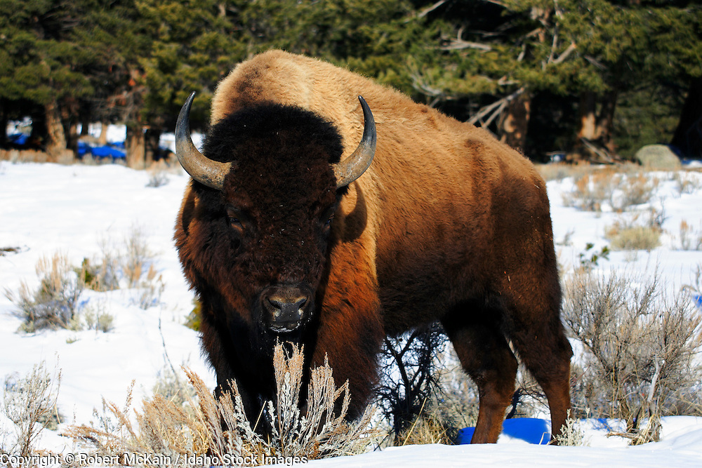 WYOMING. Yellowstone National Park. American Bison (Bison bison) bull foraging in winter snow. March 2006. #ac060201