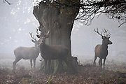 © Licensed to London News Pictures. 10/12/2013. Richmond, UK A group of young deer stand near a tree in the fog. Sunrise and deer in Richmond Park, Surrey, this morning 10 December. Photo credit : Stephen Simpson/LNP