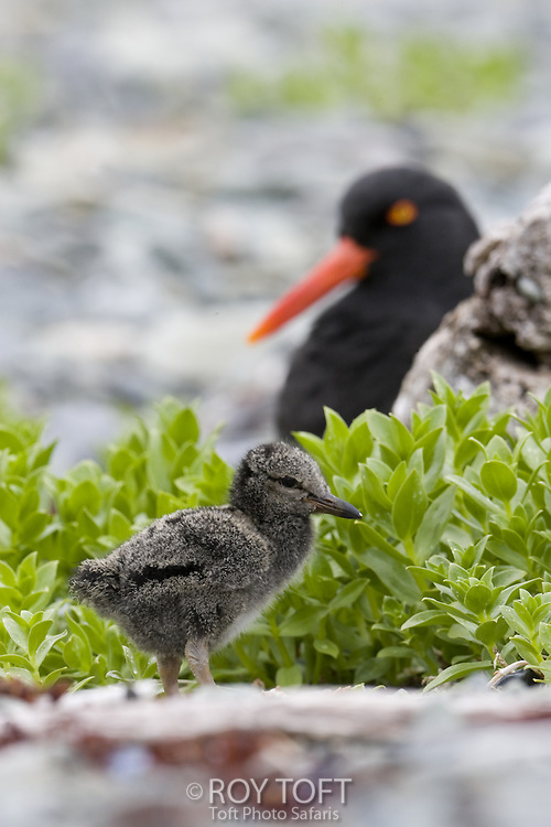 Close-up view of a juvenile black oystercatcher with parent in background.