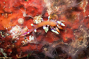 Much Desired Flabellina Nudibranch (Flabellina exoptata) on tropical coral reef - Agincourt reef, Great Barrier Reef, Queensland, Australia.