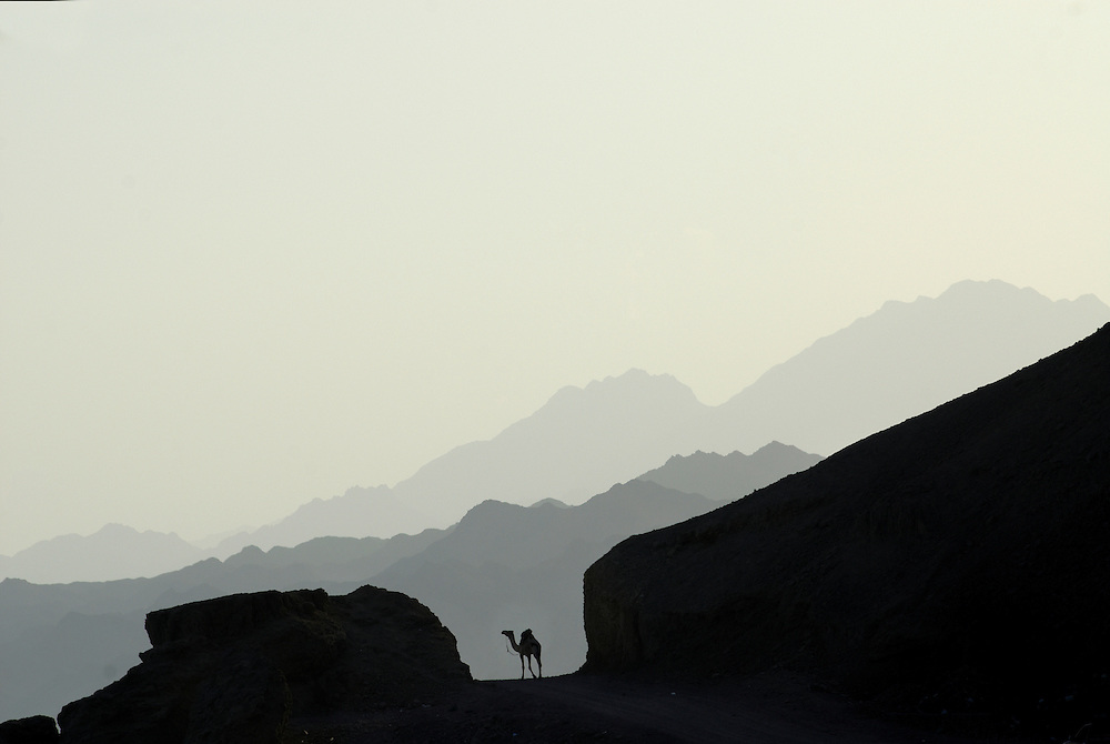 Egypt, Dahab. December/09/2008...A lone camel silhouetted against the Sinai mountain range at dusk.