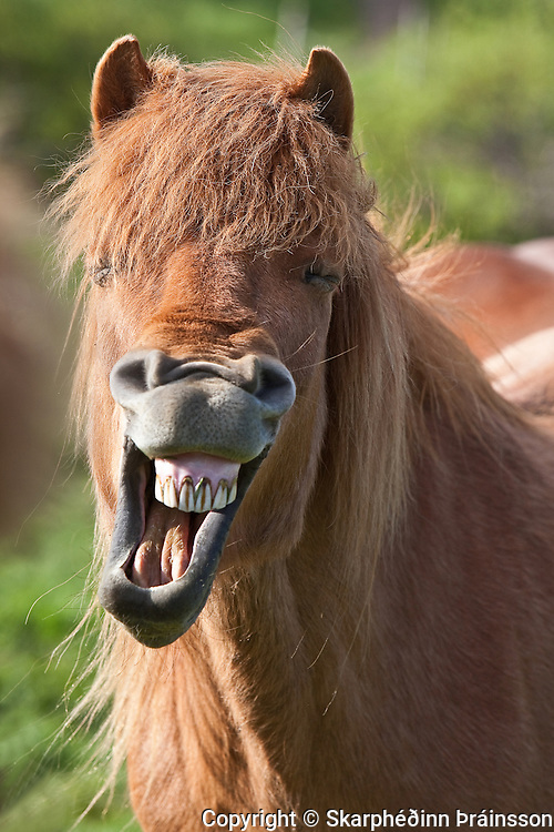 Laughing Icelandic Horse