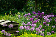 Alliums growing at Rose Cottage in Ockham, Surrey