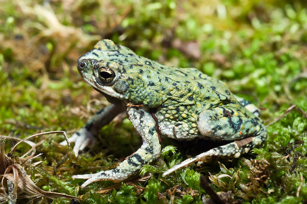 The western green toad, Bufo debilis, is found in the southwestern United States in Arizona, New Mexico, Colorado, Kansas and Texas, as well as northern Mexico.