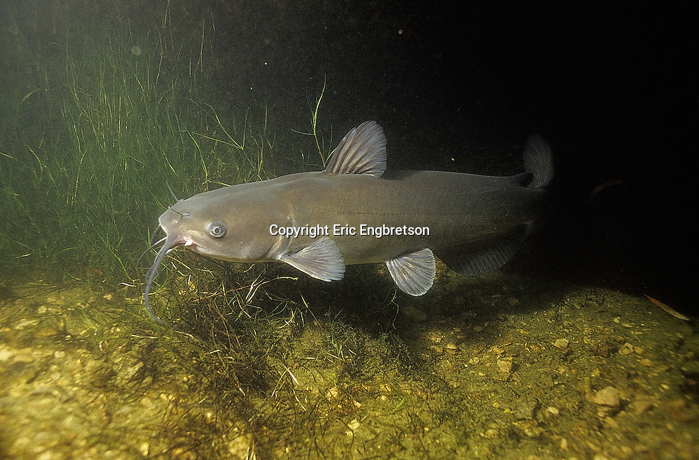 Channel Catfish Engbretson Underwater Photography