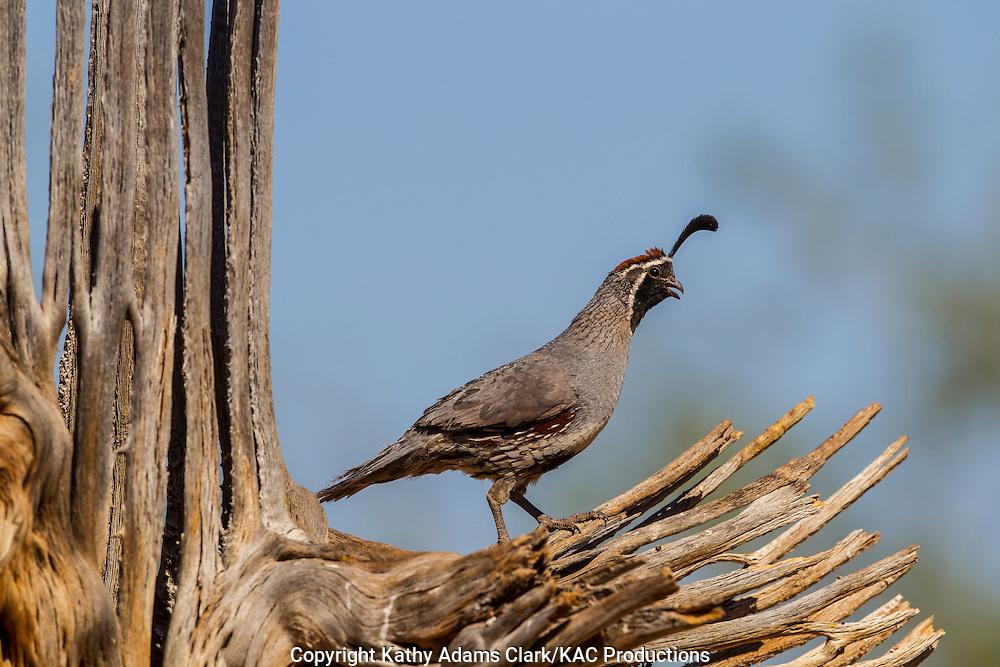 Gambel's quail; Callipepla gambelii; male on saguaro cactus skeleton, Arizona; Sonoran Desert;  Summer
