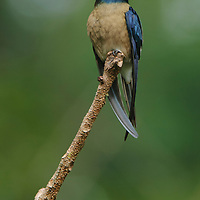 A male Whiskered Treeswift (Hemiprocne comata). Unlike true swifts, these birds can often be seen perching on exposed branches from which they make short sallying flights after insects. Sabah, Malaysia.